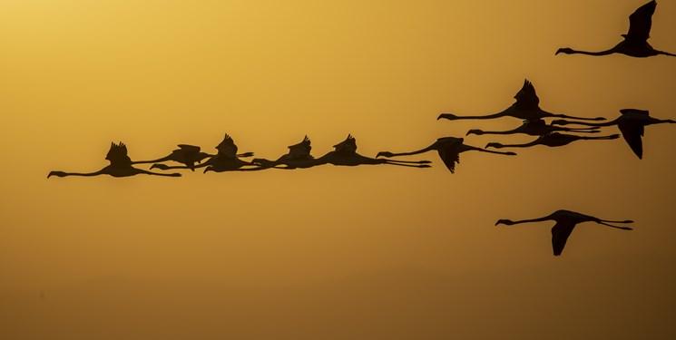فرود ۲۰ هزار فلامینگو در سواحل دریاچه ارومیه